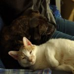 The Geek Cat, an orange and white cat, and the Geek Pup, a brindle Pit Bull, snuggling together on the couch.