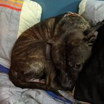 A young brindle pit bull, curled up in a ball between some pillows on a bed, looking at the camera.