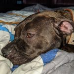 A tired looking brindle pit bull