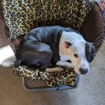 A happy pit bull curled up on a chair