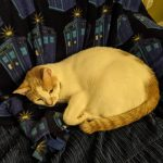 White and Orange cat curled up on a blue blanket