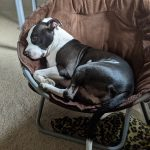 A black and white pit bull curled up in a brown chair