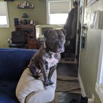 A brindle pit bull perched, like a gargoyle, on the arm of a couch.