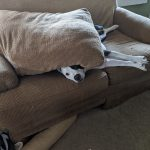 Black and white pit bull, with her head sticking out from under a couch cushion