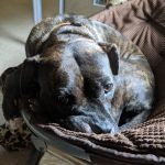 "A brindle pit bull, curled up in a chair, looking at the camera like, ""Why are you taking my picture?"""