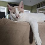 A white and orange cat lounging on the back of a sofa.