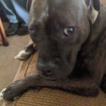 A sad looking brindle pit bull